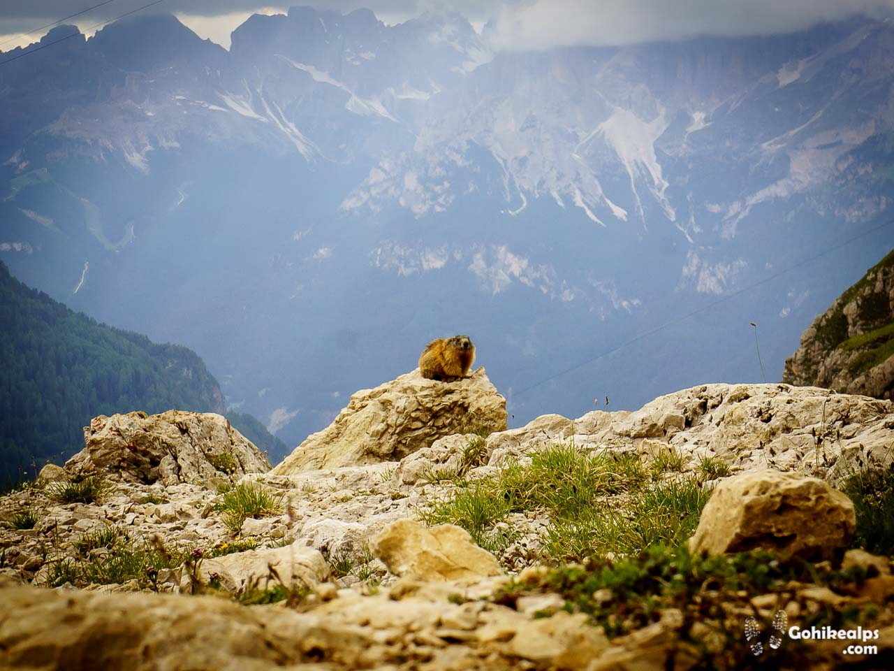 Lone Marmot Observing Us near Passo Pordoi on Dolomites Alta Via 2