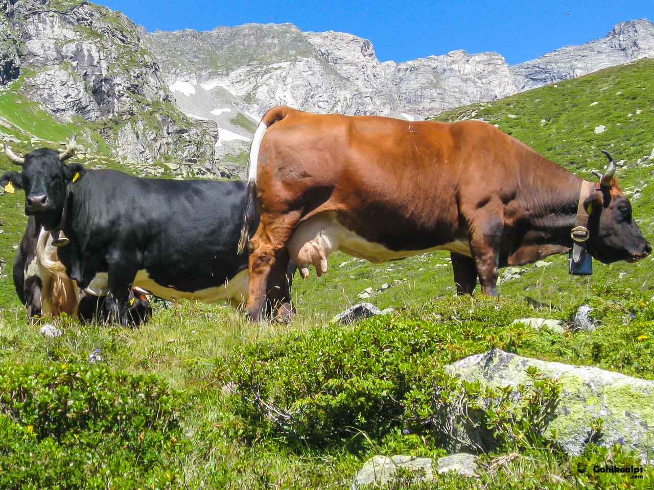 Cows, probably the most typical Alpine animal. On the way up to Friesenberghaus.